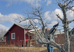 Ann-Christin Lindblom beskär plommonträd.