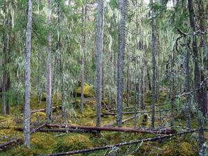 Garnlavsdraperad granskog i nybildade Grötvallsskogens naturreservat, söder om Kårböle.
