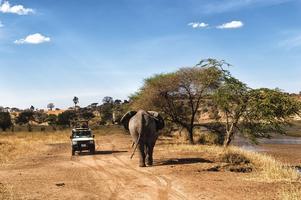 Mötande trafik i Serengeti Nationalpark.   Foto: Shutterstock.com