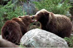 Länsstyrelsen har nu beviljat Skandinaviska Björnprojektet att under ytterligare tre år kameraövervaka björnar vid några av deras matplatser i Ovanåker och Ljusdal.