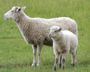 Stolt mamma med sitt lamm.