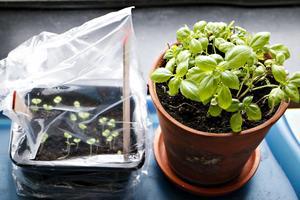 Två sätt att få basilika. Till vänster thaibasilika som såtts i en tom plastförpackning och täckts med en påse. Till höger en återanvänd planta från mataffären.