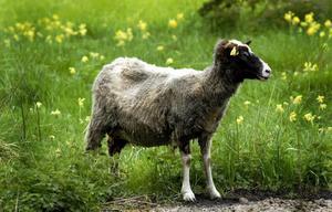 Svenska lamm som håller landskapet öppet är ett bra alternativ.