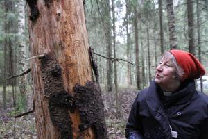 Ingrid Öberg Hägg, kyrkoherde i Svenska kyrkan, By-Folkärna pastorat, var med ut i skogen vid Utsundsbadet. På flera av granarna syntes tydliga spår av granbarkborrens framfart.