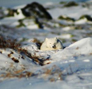 Fjällräven är väl anpassad till arktiska förhållanden – den har stora fettreserver, tjock päls, en slags värmeväxlare vid tassarna och förmåga att sänka sin ämnesomsättning när det är ont om föda.   Foto: Lars Liljemark