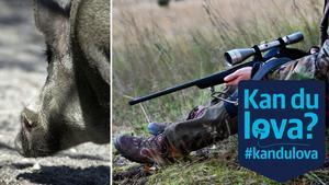 De politiska partierna i Nynäshamn har inte befoogenhet att besluta om exakt hur många vildsvin som ska skjutas. Men kommunen kan agera på olika sätt, för att få bukt med vildsvinsproblemet.