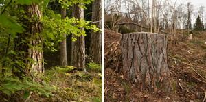 Till vänster; en mycket vacker gammal skog med 140-åriga tallar... Till höger; samma träd, ett och ett halvt år senare efter avverkning. Foto: Peter Lindgren/Proselva.