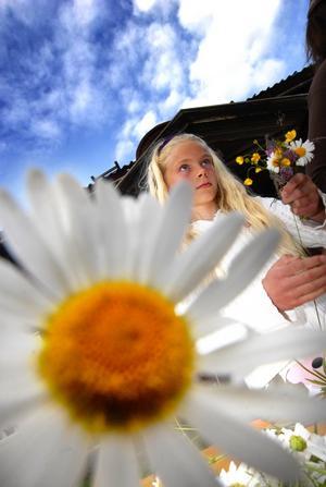 Blomma. Med en prästkrage i min hand. Tioåriga Matilda Wesslen arbetade flitigt med att binda blomkransar till Sundborns midsommarstång.