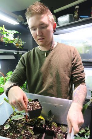 Markus Wikström med några av plantbebisarna som ska växa till sig något innan försäljning. Just här är det sticklingar av ovanliga monstera dubia som så småningom kommer att säljas för 500 kronor styck.