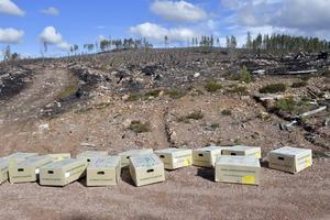 Ny skog redo att planteras där elden ifjol svepte fram över en tidigare nyplantering.