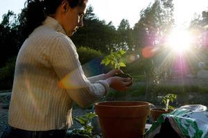 Omplantering av tomater i kvällssolens sken.