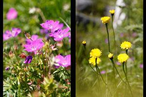 Blodnäva och slåtterfibbla är ett par av alla de 83 olika växterna som Kaj Widell på Väddö har inventerat på sin naturtomt.