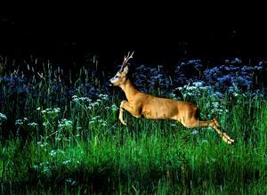 Rådjur. Västmanlands landskapsdjur på språng. Foto:  Foto. Hasse Holmberg /TT
