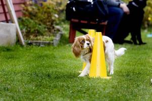 KLICKTRÄNING.Tindra lär sig att runda de gula konorna. När hon gör rätt hör hon ett klickljud och får belöning.
