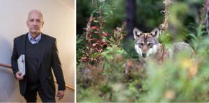 Mats Nordberg (SD) från Falun, ledamot  i miljö- och jordbruksutskottet, kritiserar Centerpartiets vargpolitik tillsammans med Runar Filper (SD).