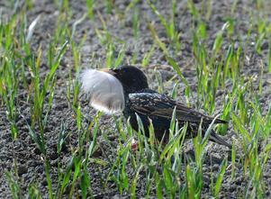 En stare har hittat bomaterial på marken. Fjädern var för stor och staren försöker göra fjädern mindre. Bild inskickad av Seppo Remes.