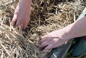 Under de gamla växtdelarna ligger jorden redo för odling.