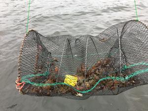 Olovligt fiske. Både fisk och kräftor blir tjuvfiskarnas rov.