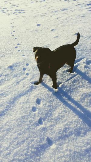 Om bilden: Diza älskar snö, tror det är bland de roligaste hon vet däremot av nån anledning hatar hon snödrivor, bild tagen i Tortuna. Foto: Tyra Hennig