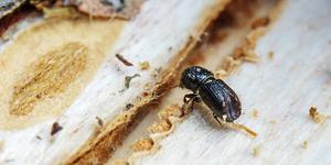 Närbild på en liten träddråpare. Granbarkborrarna är små, men kan snabbt bli många.