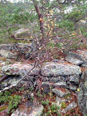 Rester av ett skyttevärn på Väddö. Runt 1940 hade man säkert fri sikt mot Ålands hav, nu har växtligheten tagit över. Foto: Lennart Nylund