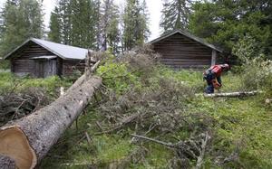 Flera träd har fallit omkull intill fäbodvallen. Ett har till och med ramlat rakt ned på en av ladorna.