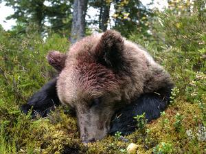 Totalt sköts 51 björnar i Gävleborgs län under årets licensjakt.