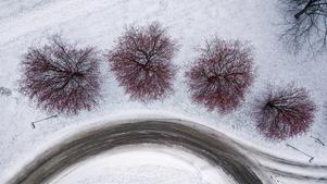 De röda bären som sitter kvar på träden kontrasterar mot den vita snön.