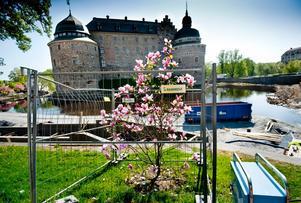 Magnoliaträdet Galaxy blommar rosa vid slottet.