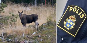 Markägaren hittade tre avsågade älgben och kontaktade polisen. Fotomontage av genrebilder från TT.