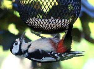Gör som Hacke...ät upp och ner. Monica Litz är en flitig fotograf  och favoritmotiv är fåglar hemma i hennes trädgård.