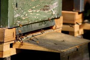 Arkivfoto: Peter ErikssonBin ger mer än honung, utan deras insats för att pollinera bärbuskar och fruktträd skulle skördarna minska.