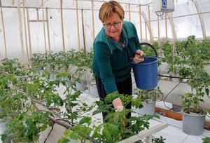 Lea Hörnström plockar sidoskott på plantorna, de kallas tjuvar eftersom de stjäl energi från plantorna.