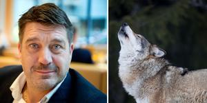 Anläggningschef Johan Sares menar att det inte fanns något annat alternativ än att avliva den varg som rymde. Bilden är ett montage (vargen är inte den som rymde).