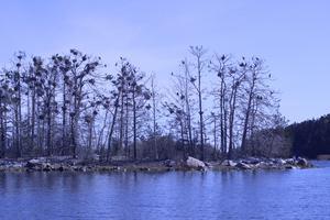 Skarven bygger mestadels sina bon i träd. Träd som, med tiden, dör av skarvens spillning. Men när skarven lämnat sin koloni börjar ön snart blomstra igen.