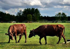 Utmärkelsen Årets Mjölkbonde delas ut varje år. Foto: Hasse Holmberg/TT