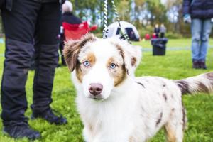 Zinnia, av rasen miniature american shepherd, deltog i en hundutställning för första gången.