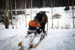 Nordsvensken var en gång en nödvändig del i skogsbruket.