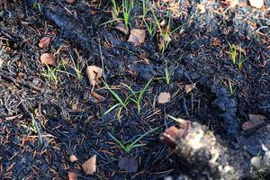 Det är bara några veckor sedan det brann på Älgbergets topp – men det nya livet har redan börjat spira.