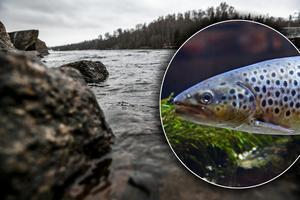 Storsatsning på Dalälven – laxfiskarna vinnare