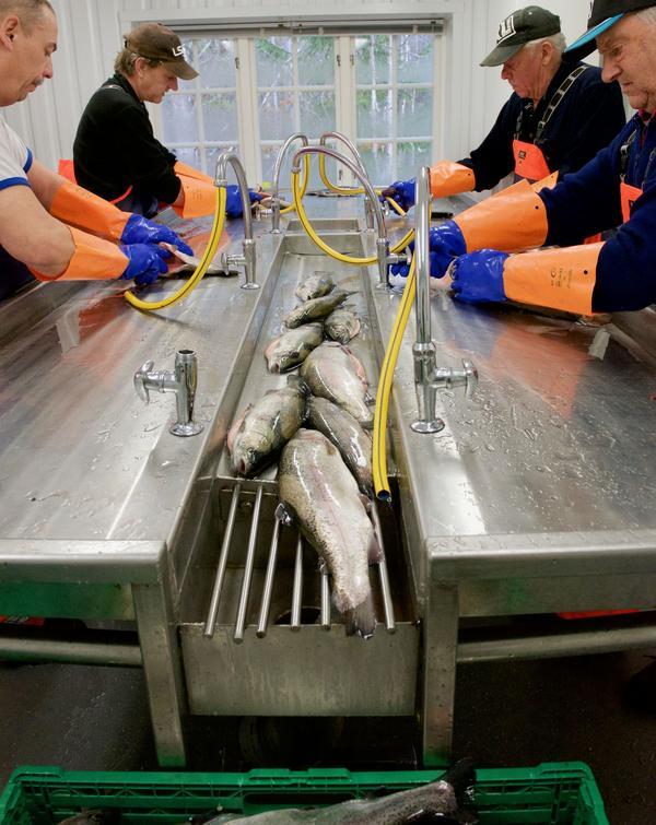 I fiskrenseriet i Ljusendal rensar Karl Wilhelm, Beppe Backman, John-Olof Halvarsson och Carl-Erik Backman regnbåge från Ljusnedalssjön.