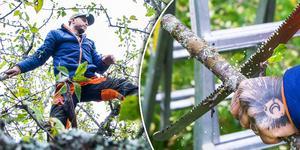 Att beskära ett fruktträd i trädgården är inte så svårt egentligen, men är du väldigt osäker ska du helst inte ta ner stora grenar.
