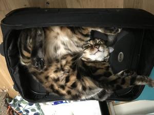 Här är katten Hammo som trots att det finns bäddar, katträd och flera andra mjuka ställen i lägenheten allra helst ligger i resväskan, ibland som en bulle, ibland mer på sitt mer egna sätt. Bild: Eli Sjöberg