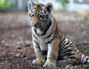 En av de två tigerungarna, som föddes i Orsa rovdjurspark 17 januari.