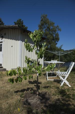 Det japanska päronträdet står planterat utanför gäststugan. Så småningom kommer här att byggas ett trädäck och platsen kommer bli familjens köksträdgård.
