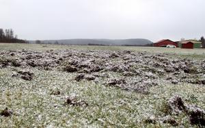 Vildsvinen har under senhösten bökat sönder merparten av Himmelslätta flygfält utanför Djurås.