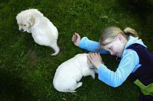 Hundkärlek. Evelina mår gott i gröngräset med två av de sex veckor gamla goldenvalparna.