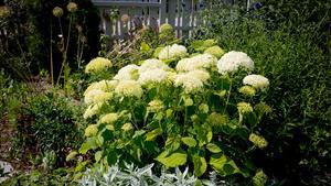 En hortensia står som ett fyrverkeri i trädgården.