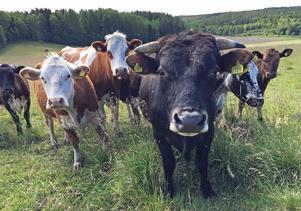 Råvaran till ostarna kommer från ett 25-tal kor som just nu betar på delar av jordbrukets mark.