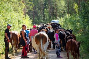 80 kor blir en rejäl kolonn efter vägen ner mot Ytterberg. Carina Ljungberg (i mitten) ser till att inga smiter iväg in i skogen.